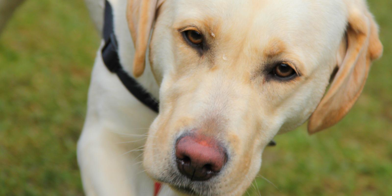 Labrador Dame Cora - Team des Monats April