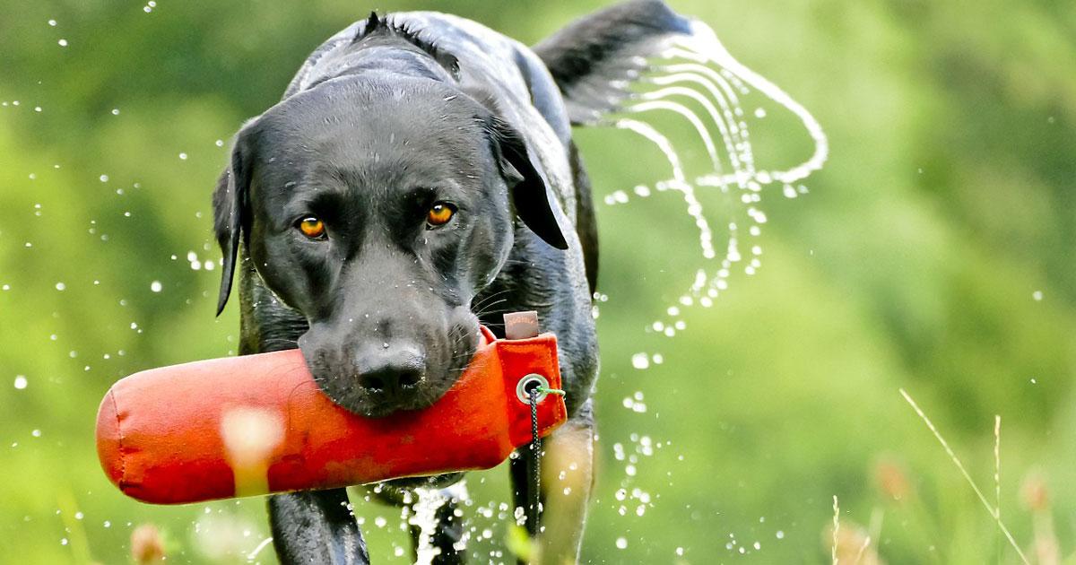 Labrador - Familientaugliche Hunde