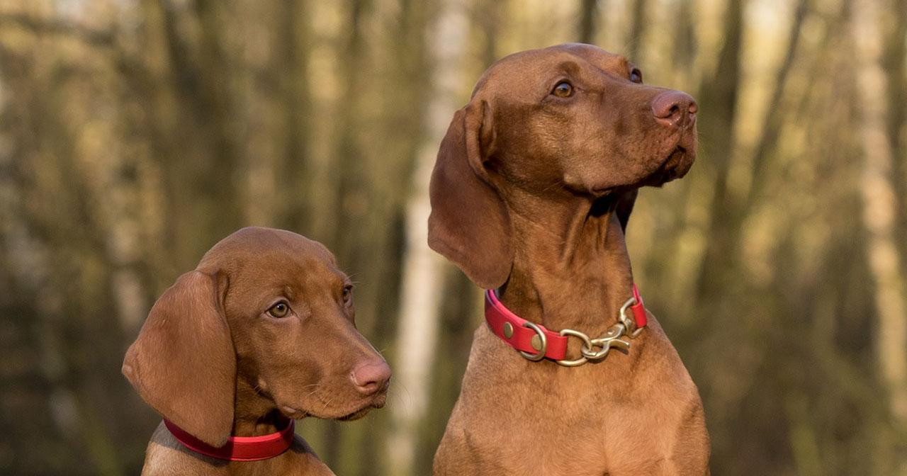 Viszla - anspruchsvoller Hund für erfahrene Halter