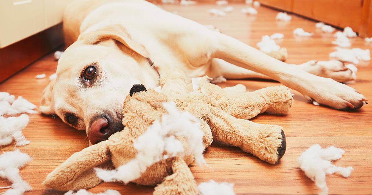 Labradort mit zerstörtem Stofftier wartet auf Besitzer
