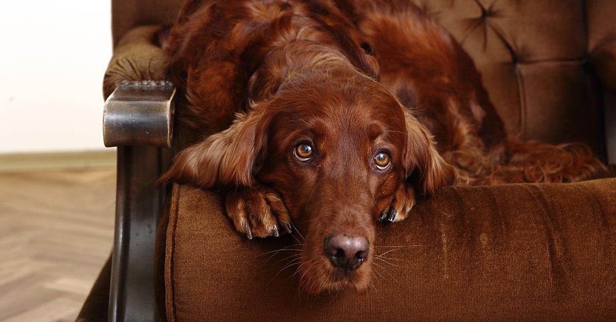 Hund wartet auf Sofa auf Halter