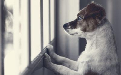 Trennungsangst – Warum leiden Hunde wenn der Besitzer weg ist?