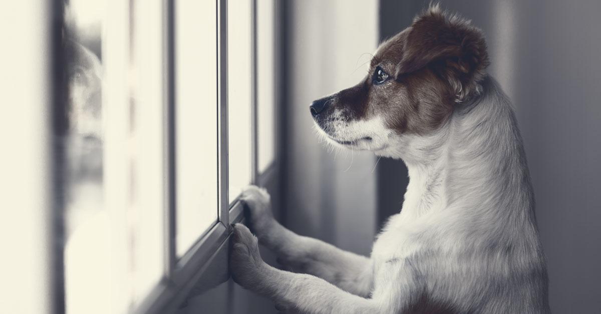 Hund schaut aus dem Fenster wartet auf Herrchen