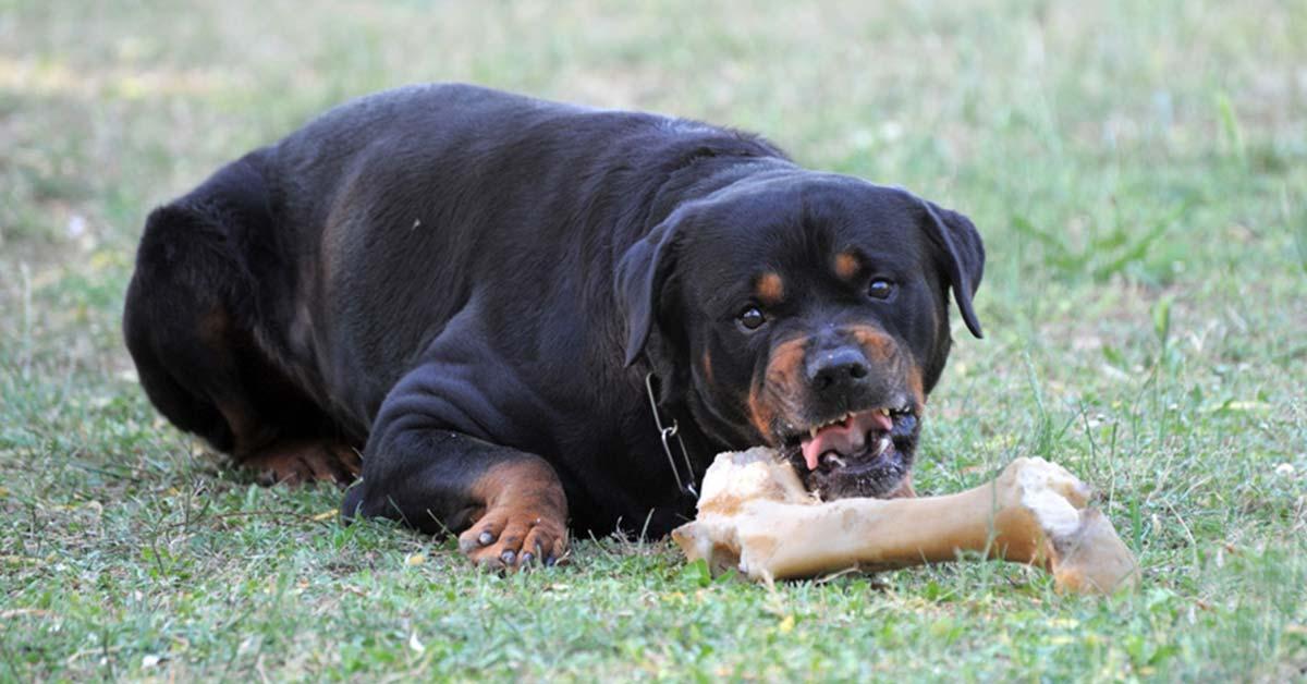 Futteraggression, Rotweiler, Hunde