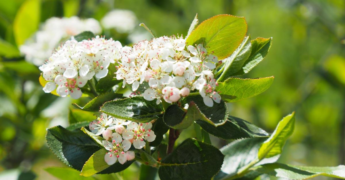 Aroniablüten
