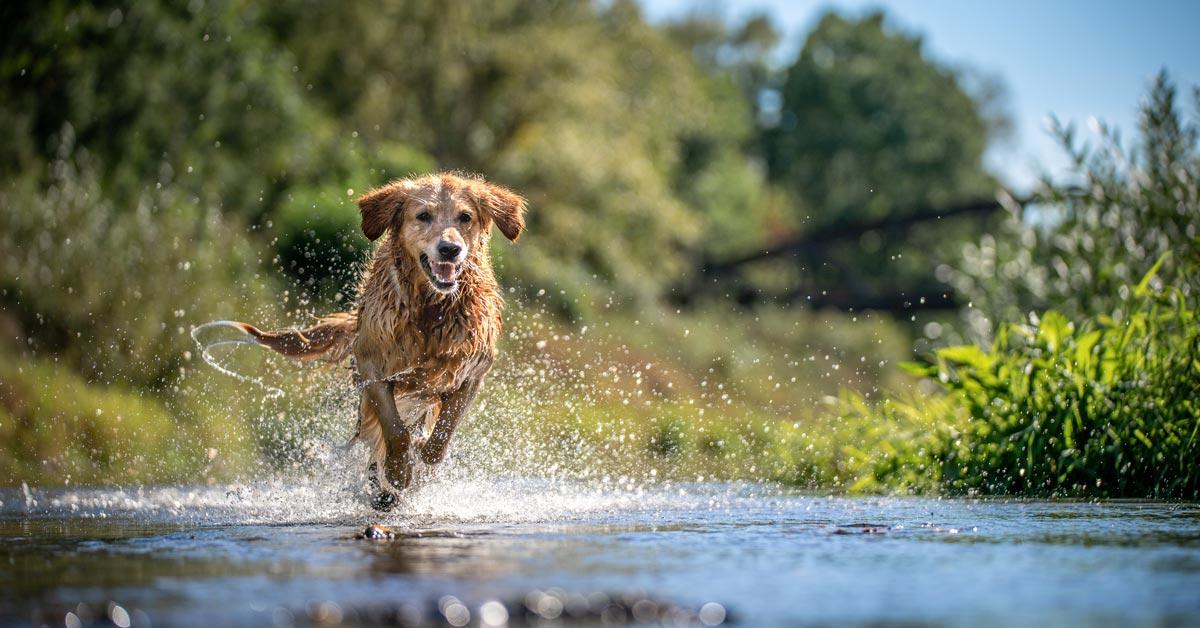 Gesunder Hund rennt über Bach
