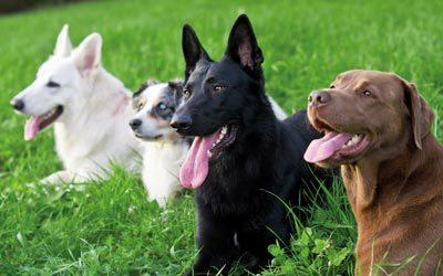 Ungehorsam – warum bocken Hunde?